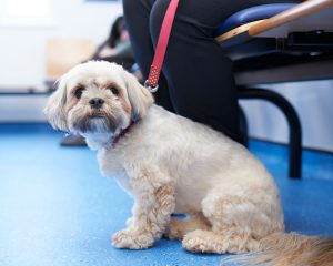 Lhasa Apso in waiting room