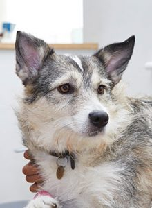 Alaskan Malamute cross dog